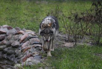 Komt De Wolf Nei Fryslân